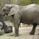 Warsaw Zoo Workers Give Cannabis To Elephants