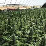 US Cannabis Harvest Rewind
