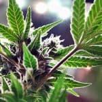 2021 is South Dakota's Marijuana Growers Year